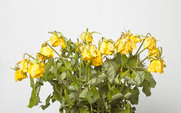 Wilted flowers. Wilted bouquet of yellow roses Stock Images