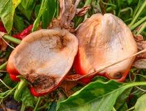 Wilted gjorde vit pepparcloseupen Arkivfoto