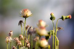 Wilted grass flower. In very hot day Royalty Free Stock Photography