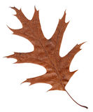Wilted leaf of an American oak Stock Images