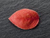 Wilted leaf on black rock Stock Image