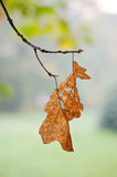 Wilted leaves. Hanging from the branch in autumn Stock Photos