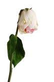 Wilted levantou-se de pálido - a cor cor-de-rosa com uma folha Fotografia de Stock Royalty Free