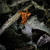 A Wilted Marigold Flower. On a Compost Heap/Artistically alienated to create a grungy somber atmosphere Royalty Free Stock Photography