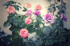 Wilted old rose flowers background Stock Images