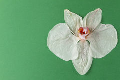 Wilted orchid Stock Photography