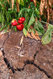 Wilted peppers growing from a dry cracked soil Stock Photography