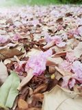 Wilted pink trumpet flowers on the ground. Close up picture of wilted pink trumpet flowers on the ground Royalty Free Stock Photography