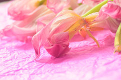 Wilted pink tulips Stock Image
