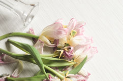 Wilted pink tulips Stock Photo