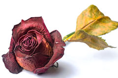Free Wilted Red Rose Royalty Free Stock Image - 87742466