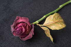 Wilted red rose over dark background stock photo
