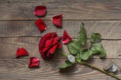 Wilted red rose on wood background Stock Photo