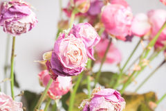 Wilted rose. Bouquet of pink wilted rose as background Stock Photography