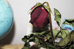 wilted Rose Royalty Free Stock Image