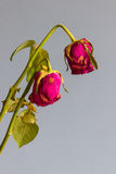Wilted roses against a grey blue background Stock Photo
