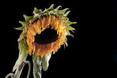 Wilted sunflower Stock Photography