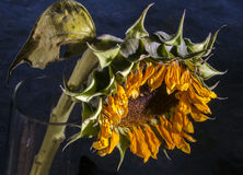 Wilted sunflower Stock Photos