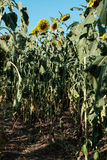 Wilted sunflower. Lack of water during sunflower bloom Stock Photo