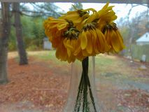 Wilted Sunflowers Against Window Glass Stock Photo