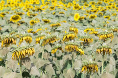 Wilted sunflowers field. Stock Image