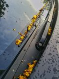 Wilted yellow flowers on car wipers. After heavy rain Stock Images