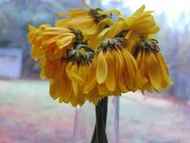 Wilted Sunflowers Against Window Glass royalty free stock photo