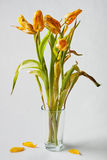 Wilted yellow tulips. In a vase Royalty Free Stock Photo