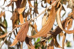 Wiltered在树枝的褐色叶子 受霜害死的植物 损坏在早期的霜叶子之前 免版税库存图片