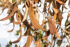 Wiltered在树枝的褐色叶子 受霜害死的植物 损坏在早期的霜叶子之前 库存照片