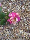 Wiltering Rosa imagem de stock royalty free