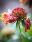 The Wilting Chrysanthemum Royalty Free Stock Photo