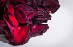 Wilting Closeup of Red Rose Petals. Dying red rose petals on a white background with copyspace Stock Photos