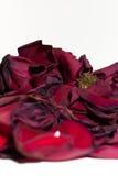 Wilting Closeup of Red Rose Petals Stock Photography