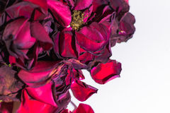 Wilting Closeup of Red Rose Petals Royalty Free Stock Images