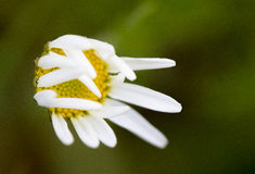 Wilting Daisy. Closeup of a wilting daisy Royalty Free Stock Images