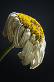 A wilting daisy. Royalty Free Stock Photos