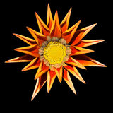 Wilting gazania flower. Gazania flower, wilting at the end of summer, on black background Royalty Free Stock Photos