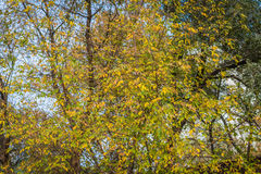 Wilting leaves on a tree. Stock Images