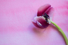 Wilting purple tulip. Interior of one wilting purple tulip lying on watercolor background Royalty Free Stock Photography