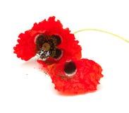 Wilting red poppy Royalty Free Stock Photo