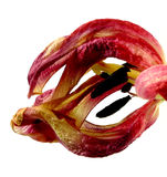 Wilting red tulip Stock Images