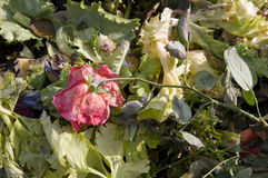 Wilting Rose royalty free stock photo