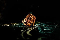 A wilting rose signifies lost love, divorce, or a bad relationship, dead rose on dark background with smoke. Selective focus royalty free stock images