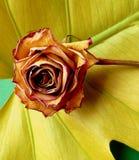 Wilting rose Royalty Free Stock Photos