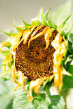 Wilting sunflower. Thirsty sunflower wilting in the summer heat Stock Images