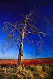 Wilting Tree. In the middle of a feild Royalty Free Stock Photography