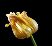 Wilting tulip Royalty Free Stock Photos