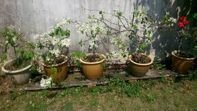 Wilting White Bougainvillea. Dying, Twisting but Pretty Royalty Free Stock Photo