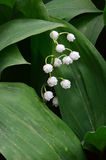 Wilting white lilies of the valley. Flowers.Closeup. Wilting white lilies of the valley. Flowers. Large green leaf. A series of images royalty free stock photos